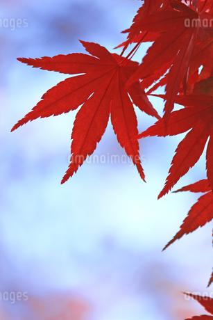 赤く色付いた楓の葉のクローズアップ写真の写真素材 [FYI01269086]