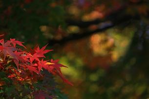 赤く染まった楓の葉が鮮やかな日本庭園の秋の風景の写真素材 [FYI01269088]