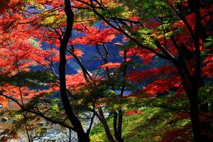 水辺に赤く色づく紅葉の風景の写真素材 [FYI01269091]