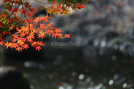 水辺を背景にした赤く色づくカエデの写真素材 [FYI01269095]