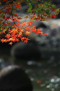水辺を背景にした赤く色づくカエデの写真素材 [FYI01269096]