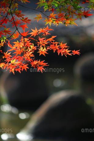 水辺を背景にした赤く色づくカエデの写真素材 [FYI01269097]