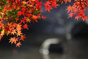 水辺を背景にした赤く色づくカエデの写真素材 [FYI01269100]
