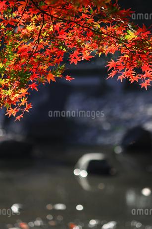 水辺を背景にした赤く色づくカエデの写真素材 [FYI01269101]