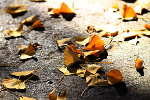 冬の石畳に落ちたイチョウの葉のクローズアップ写真の写真素材 [FYI01269106]