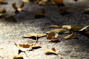 冬の石畳に落ちたイチョウの葉のクローズアップ写真の写真素材 [FYI01269107]
