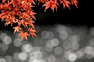 水辺を背景にした赤く色づくカエデの写真素材 [FYI01269111]