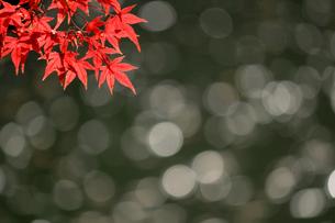 水辺を背景にした赤く色づくカエデの写真素材 [FYI01269112]