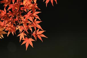 水辺を背景にした赤く色づくカエデの写真素材 [FYI01269113]