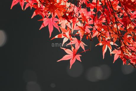 水辺を背景にした赤く色づくカエデの写真素材 [FYI01269114]