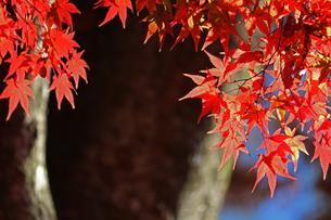 赤く染まった楓の葉が鮮やかな日本庭園の秋の風景の写真素材 [FYI01269121]