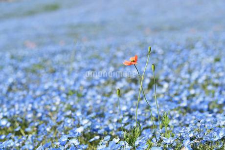 ネモフィラの花畑の写真素材 [FYI01269220]