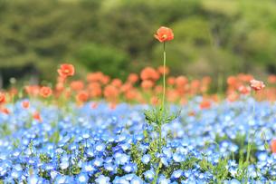 ネモフィラの花畑の写真素材 [FYI01269221]