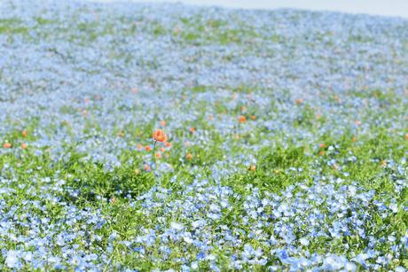 ネモフィラの花畑の写真素材 [FYI01269222]