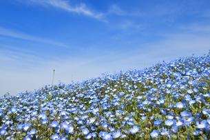 ネモフィラの花畑の写真素材 [FYI01269223]
