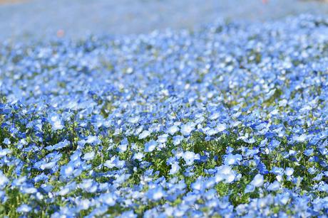ネモフィラの花畑の写真素材 [FYI01269224]