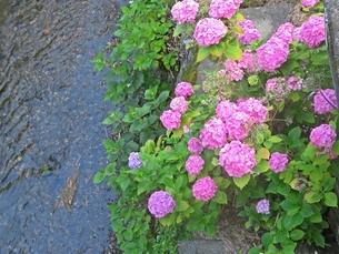 川辺に咲くアジサイの写真素材 [FYI01269270]