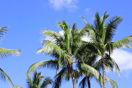 ハワイ オアフ島 ワイキキビーチのヤシの木の写真素材 [FYI01269276]