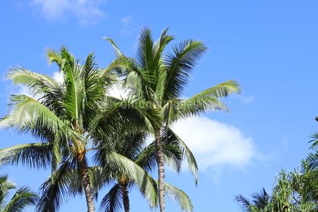 ハワイ オアフ島 ワイキキビーチのヤシの木の写真素材 [FYI01269277]