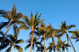 ハワイ オアフ島 ワイキキビーチのヤシの木の写真素材 [FYI01269281]