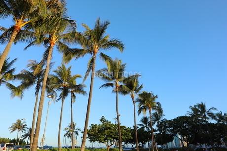 ハワイ オアフ島 ワイキキビーチのヤシの木の写真素材 [FYI01269282]