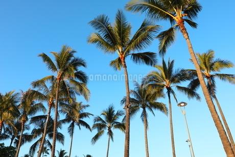ハワイ オアフ島 ワイキキビーチのヤシの木の写真素材 [FYI01269283]