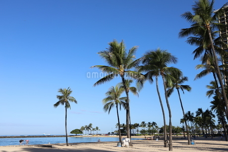 ハワイ オアフ島 ワイキキビーチのヤシの木の写真素材 [FYI01269286]