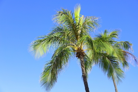 ハワイ オアフ島 ワイキキビーチのヤシの木の写真素材 [FYI01269288]