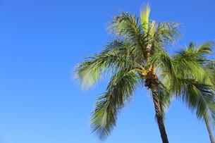 ハワイ オアフ島 ワイキキビーチのヤシの木の写真素材 [FYI01269289]