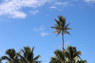 ハワイ オアフ島 ワイキキビーチのヤシの木の写真素材 [FYI01269291]
