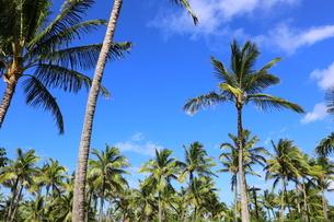 ハワイ オアフ島 ワイキキビーチのヤシの木の写真素材 [FYI01269292]