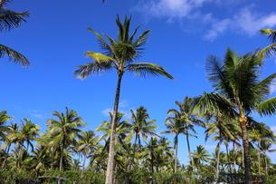 ハワイ オアフ島 ワイキキビーチのヤシの木の写真素材 [FYI01269293]
