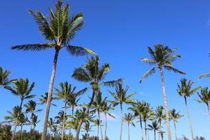 ハワイ オアフ島 ワイキキビーチのヤシの木の写真素材 [FYI01269294]
