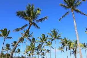 ハワイ オアフ島 ワイキキビーチのヤシの木の写真素材 [FYI01269295]