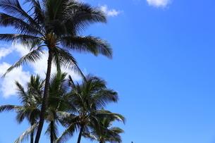 ハワイ オアフ島 ワイキキビーチのヤシの木の写真素材 [FYI01269299]
