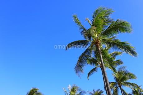 ハワイ オアフ島 ワイキキビーチのヤシの木の写真素材 [FYI01269300]