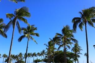 ハワイ オアフ島 ワイキキビーチのヤシの木の写真素材 [FYI01269301]