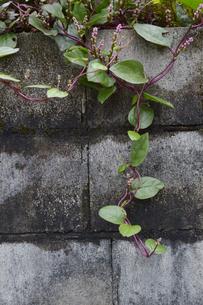 古いブロック塀に垂れる植物の写真素材 [FYI01269364]