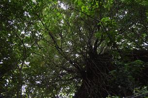 空を覆い尽くすガジュマルの葉の写真素材 [FYI01269368]