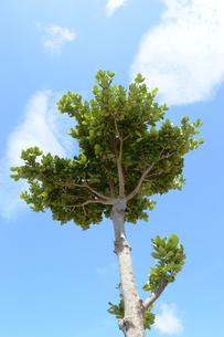 晴天の青空に伸びる木の写真素材 [FYI01269371]