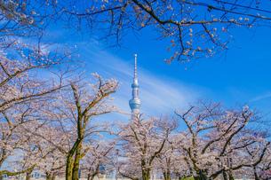 東京スカイツリーと桜の写真素材 [FYI01269468]