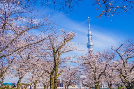 東京スカイツリーと桜の写真素材 [FYI01269471]