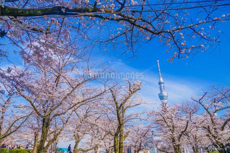 東京スカイツリーと桜の写真素材 [FYI01269473]