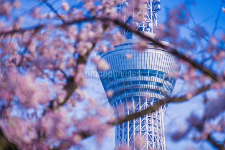 東京スカイツリーと桜の写真素材 [FYI01269476]