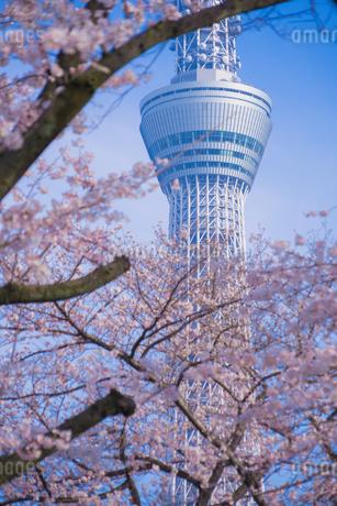 東京スカイツリーと桜の写真素材 [FYI01269477]