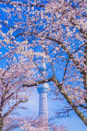 東京スカイツリーと桜の写真素材 [FYI01269478]