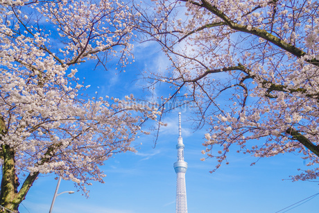 東京スカイツリーと桜の写真素材 [FYI01269486]