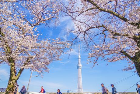 東京スカイツリーと桜の写真素材 [FYI01269487]