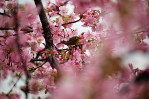 河津桜とメジロの写真素材 [FYI01269512]