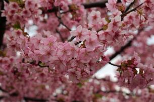 河津桜の写真素材 [FYI01269515]